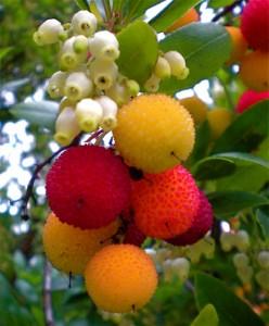Koca Yemis, Cilek Agaci (Strawberry Tree , Arbutus Unedo) -1-